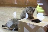 マヌルネコ五つ子赤ちゃんデビュー!!(埼玉県こども動物自然公園) - 続々・動物園ありマス。