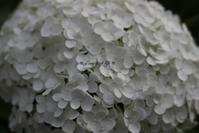 我が家の紫陽花 - a cozy little life