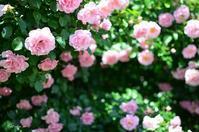バラ サマーモルゲン - 今日の小さなシアワセ