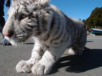 2015.12.20 那須サファリパーク☆ホワイトタイガーのマハロ【White tiger】 - 青空に浮かぶ月を眺めながら