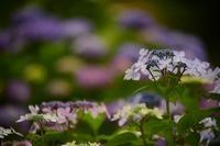 紫陽花 de 彩り - 一歩々々 ~いっぽいっぽ~