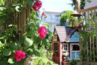 シレネ スワンレイク♫ - kekukoの薔薇の庭