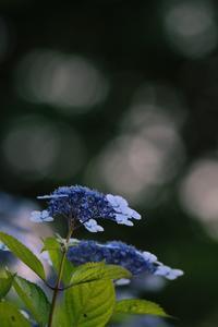 紫陽花 - どーいね!!