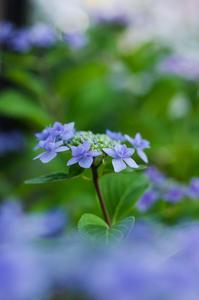 庭の紫陽花 - 花と風景 Photo blog