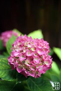 紫陽花の花 - チクチククチート