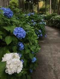 最近の三室戸寺のあじさい - 【飴屋通信】 京都の飴工房「岩井製菓」のブログ