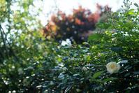 5月20日 バラまつり初日の我が家の庭の薔薇2 - Reon&Roses+Lara