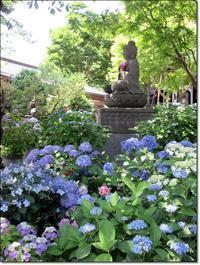 【大混雑大人気の鎌倉長谷寺の紫陽花】 - お散歩アルバム・・梅雨の徒然