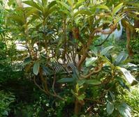 ビワの樹形とドクダミチンキ - うまこの天袋