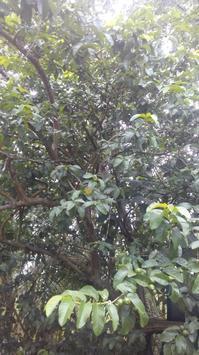 グアバ(Guava)の木 - Nature Care