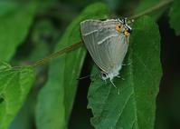 ゼフィルスのライファー3種 - 公園昆虫記