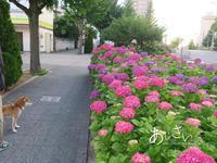 紫陽花の小径 - yamatoのひとりごと