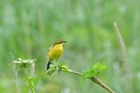 ツメナガセキレイ - ごっちの鳥日記