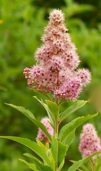 #木の花 『穂咲下野』Spiraea salicifolia - 自然感察 *Nature * feeling*