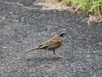 今日の鳥さん 170618 - 万願寺通信