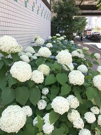 街路樹の紫陽花 - おはけねこ
