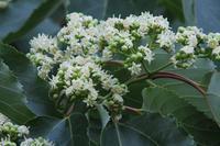 ■ 白い花 3種   17.6.19   (ケンポナシ、サンゴジュ、クマノミズキ) - 舞岡公園の自然2