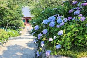 矢田寺のアジサイは見頃となっております - 大和のお地蔵さまとアジサイの寺 矢田寺