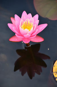 行船公園の蓮の花 - kenのデジカメライフ