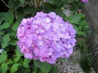 我が家の紫陽花と、昨日のブルーノートの話の追加 - いい旅・夢Kiwi スカイキウィの夢日記