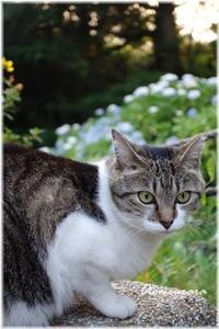 紫陽花と猫ちゃん - 日々楽しく ♪mon bonheur