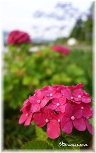紫君子蘭 と 紫陽花 - 日々楽しく ♪mon bonheur