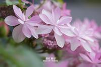 紫陽花物語 Vol.04 - 君に届け