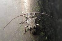 クモガタケシカミキリ Exocentrus fasciolatus - 写ればおっけー。コンデジで虫写真