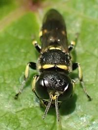 ギングチバチの一種 - 写ればおっけー。コンデジで虫写真