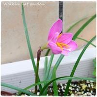 西風の花 - お散歩ねこのお庭