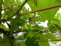 梅雨入り ベランダ庭で地味に花咲く♪実のなる植物たち - journey