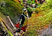 ・アカゲラ - 鳥見撮り