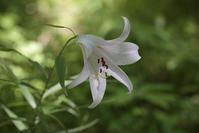 ササユリ 100mmマクロ ~2017箱根湿性花園~ - 鴉の独りごと