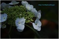 紫陽花 2017 #023 - ルリビタキの気まぐれPATA*PATA