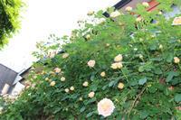 薔薇ロココ! - kekukoの薔薇の庭