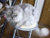 猫のお留守番 チョビくん編。 - ゆきねこ猫家族