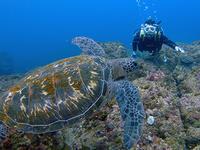 今日はカメが多かった~!! - 八丈島ダイビングサービス カナロアへようこそ!