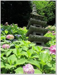 【鎌倉長谷寺の紫陽花などなど2017】 - お散歩アルバム・・梅雨の徒然