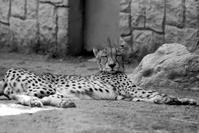 モノクロでチータっこ - 動物園に嵌り中