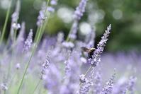 荒子川公園のラベンダー - 尾張名所図会を巡る