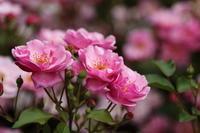 市川市動植物園のバラ園☆色々なバラに癒されて~ 5 - Let's Enjoy Everyday!