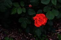 薔薇  2017   - 写真部
