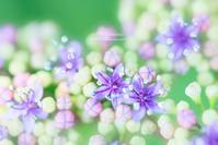 紫陽花というより - Photomomo*ももなの写真館