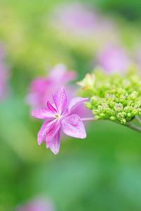 6/19 凛として紫陽花 - 「あなたに似た花。」