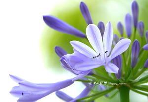 愛の花「紫君子蘭」(アガバンサス) - 花々の記憶
