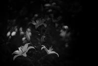 --- Lily --- - Rphotography