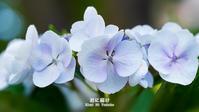 紫陽花物語 Vol.06 - 君に届け