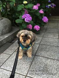 *紫陽花散歩&陶芸* - BARON MAMA*S