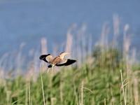 ヨシゴイへの感覚が麻痺するポイント    KIB - シエロの鳥ノート