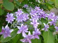 我が家の花 あじさい咲く - 風の便り